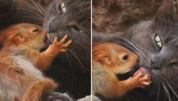 Filhotes de esquilos órfãos encontram conforto em uma improvável mãe gata adotiva, agora são inseparáveis
