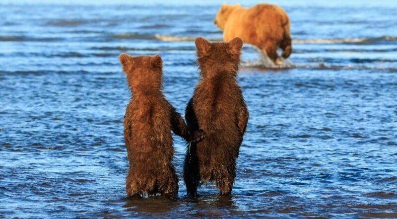 Filhotes de urso dão as mãos enquanto a mãe vai caçar para o jantar