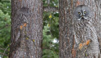 Fotógrafo vê coruja se misturando perfeitamente com uma árvore