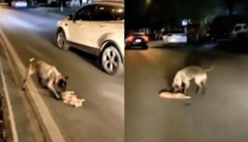 VÍDEO: Cachorro tenta reanimar um gatinho atropelado, se torna viral