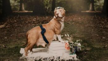 Pitbull resgatada e grávida é a protagonista de uma sessão de fotos emocionante