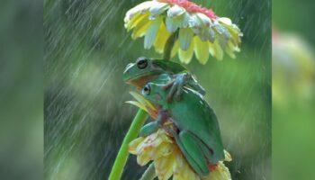 Fotógrafo flagra dois sapos compartilhando um doce abraço na chuva