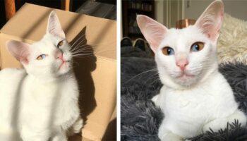 Gatinha adorável tem olhos de dois tons que são metade castanhos e metade azuis