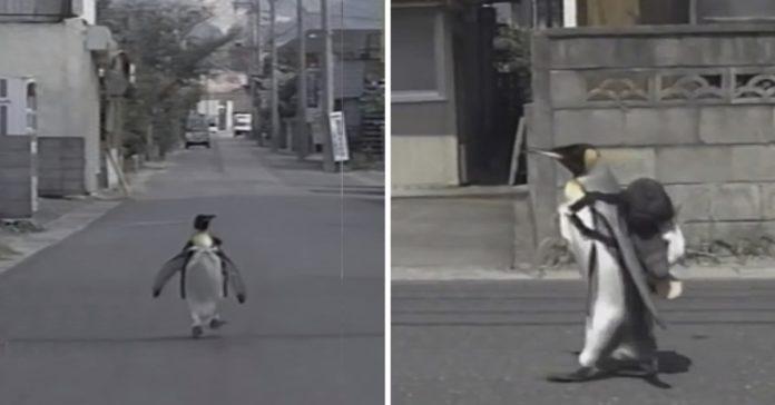 Pinguim usa uma mochila e caminha todos os dias até o mercado de peixes para pegar seu jantar