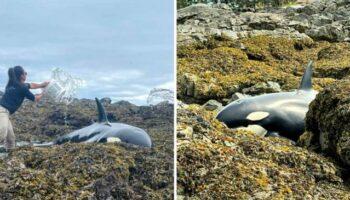 Baleia encalhada é salva por um grupo de pessoas que a manteve molhada