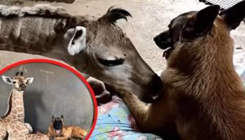 Morre Jazz, a girafa que foi adotada por um cachorro depois de ser abandonada