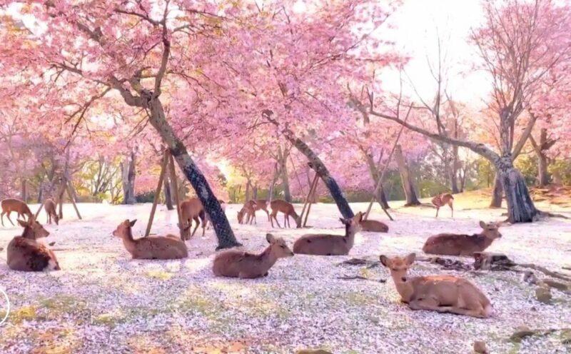 O Japão tem um dos parques mais bonitos do mundo, com cerejeiras e cervos em liberdade