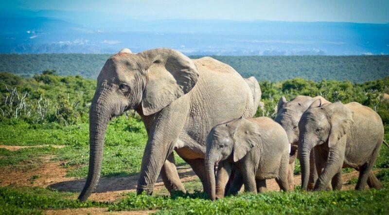 Mais de 200 elefantes nasceram no Quênia graças aos esforços de conservação
