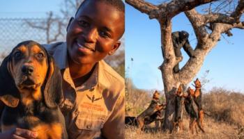 Cães salvam mais de 40 rinocerontes 'caçando caçadores'